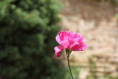 Single Pink Flower on narrow stem. In front of a blurred stone wall and shrubbery background stock photo