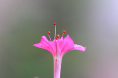 Single pink flower in nature. Macro shot of a pink single flower Stock Photos