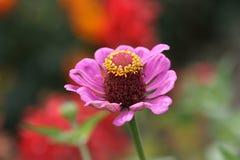 Single pink flower Royalty Free Stock Image