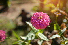 Single pink flower. Pink zinnia flower. Stock Image