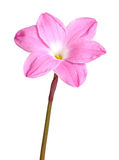 Single pink flower of a Zephyranthes cultivar isolated against w. Single pink flower of the rain lily or rainflower Zephyranthes cultivar Pink Panther isolated royalty free stock photo