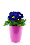 Single pink floweringpot with purple primrose Stock Photos