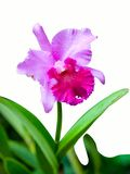 Single pink fresh cattleya orchid isolated Royalty Free Stock Photos