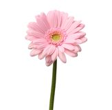 Single pink gerbera. Isolated on white background with clipping path royalty free stock image