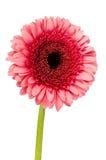 Single pink gerbera Stock Photography