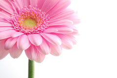 Single pink gerbera Stock Photos