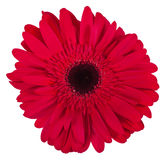 Single pink gerbera flower isolated on white background Stock Images