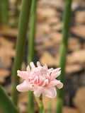 Single Pink Ginger Flower Head Stock Image