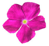 Pink flower isolated on white Royalty Free Stock Photo