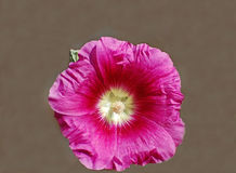 Single pink hollyhock blossom Royalty Free Stock Images