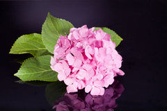 Single pink hortensia on black background Stock Photo