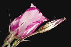 Single pink lisianthus flower with bud Royalty Free Stock Images