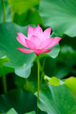 Single pink lotus Stock Photo