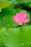 Single pink lotus Stock Images