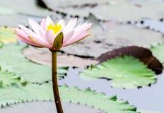 Single Pink Lotus.  Royalty Free Stock Photo