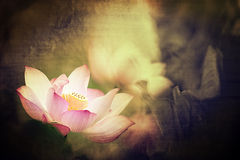 Single pink Lotus for background use Stock Images