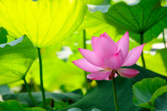 Single Pink Lotus Flower Stock Photography