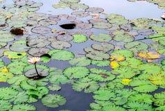Single Pink Lotus in Lotus Pond.  Royalty Free Stock Photo