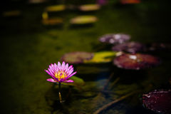 Single pink lotus or water lily flower Royalty Free Stock Images