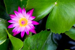 Single pink lotus & x28;water lily& x29; with the green leaf. Single pink lotus & x28;water lily& x29; with the green leaf background Royalty Free Stock Photos