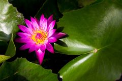 Single pink lotus (water lily) with the green leaf. Background royalty free stock photo