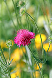 Single pink meadow flower Stock Photos