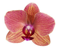 Single pink and orange orchid flower Royalty Free Stock Photography