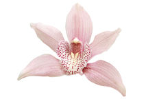 Single Pink Orchid Stock Images