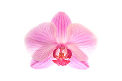 Single pink orchid blossom isolated on white. Single pink orchid blossom isoloted on white Royalty Free Stock Photos