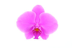Single pink orchid flower Royalty Free Stock Photo