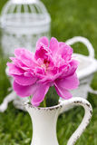 Single pink peony flower in white ceramic vase. On fresh green lawn in the garden Royalty Free Stock Photography