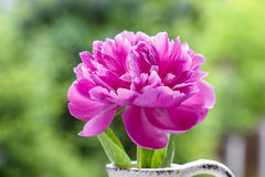 Single pink peony flower in white ceramic vase. On wooden table in the garden Stock Images