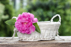 Single pink peony flower in white wicker basket Royalty Free Stock Photo