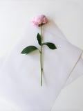 Single pink peony Stock Photography