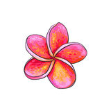 Single pink plumeria, frangipani tropical flower, sketch vector illustration Stock Images
