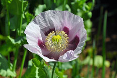 Single pink and purple poppy in full bloom Royalty Free Stock Image