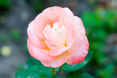 Single pink rose Royalty Free Stock Photos