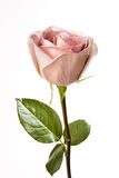 Single Pink Rose Stock Image
