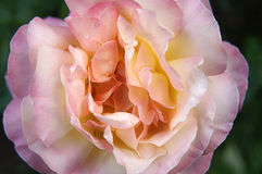Single Pink Rose stock images