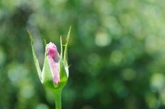 Single pink rose bud. Royalty Free Stock Image