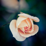 Single pink rose on a dark natural background Stock Photography