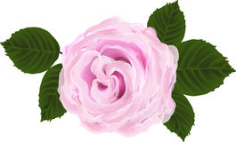 Single pink rose flower and five green leaves Stock Image