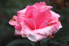 Single Pink Rose flower. Stock Photography