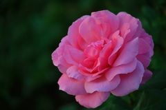 Single pink rose in a garden  by a beautiful bokeh Royalty Free Stock Photography
