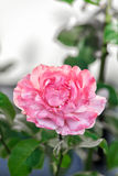Single pink rose in a garden. Single pretty perfect pink rose growing on a bush in the garden symbolic of love and romance, with copyspace Stock Photo