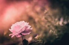 Single pink Rose Royalty Free Stock Image