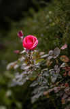 Single pink Rose Royalty Free Stock Images