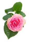 Single pink rose with green leaves Stock Photos