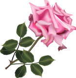 Single pink rose with green leaves on white Royalty Free Stock Photos