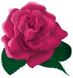 Single pink rose illustration Royalty Free Stock Images
